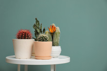 Beautiful Cacti In Flowerpots On Table Near Color Wall