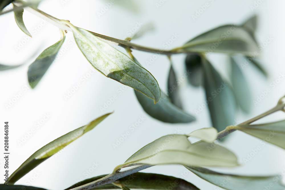 Fototapety, obrazy: close up view of leaves of olive branch on blurred background