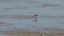 Three-banded Plover Feeding In Shallow Water