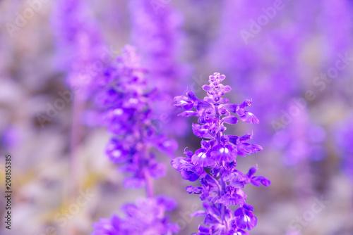 Foto op Plexiglas Weide, Moeras Blooming violet lavender flowers in sunny day