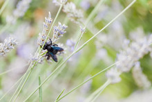 Blue Carpenter Bee Perching On...