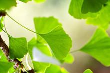Close-up Green Leaves Of Ginkgo Biloba In A Garden