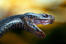 The Head Of A Poisonous Snake Of A Black Viper With An Open Mouth On A Blurred Background In A Yellow Tonality.