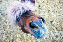 Pony Looks With Curiosity