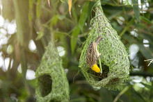 Nature Of Wildlife - Weaver Birds In The Nest Hanging On Bamboo Tree In The Forest