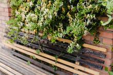An Old Wooden Bench Under A Bush Of Flowering Honeysuckle.