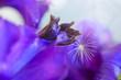 Leinwandbild Motiv Macro shot on purple petunia flower and dandelion same.