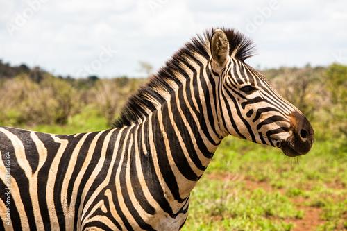 Fotobehang Zebra Zebra Closeup