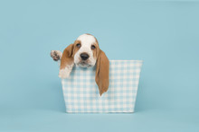 Cute Basset Hound Puppy In A Blue Checkered Basket On A Blue Background