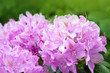 canvas print picture - Pink Azaleas flowers in springtime.
