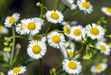 Chamomile Small Medicinal Flow...