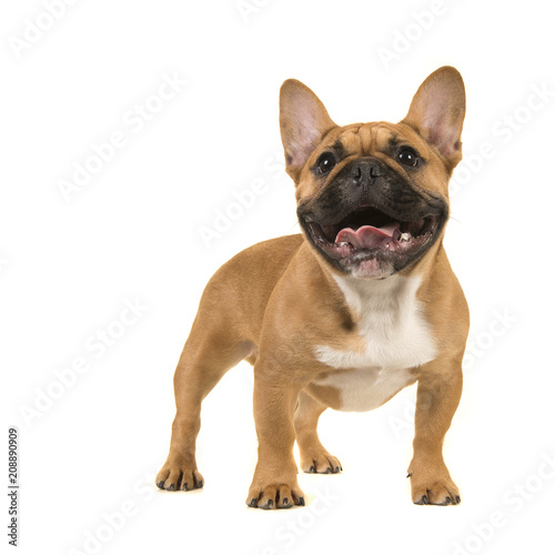 Poster Bouledogue français Cute french bulldog standing looking up with open mouth on a white background