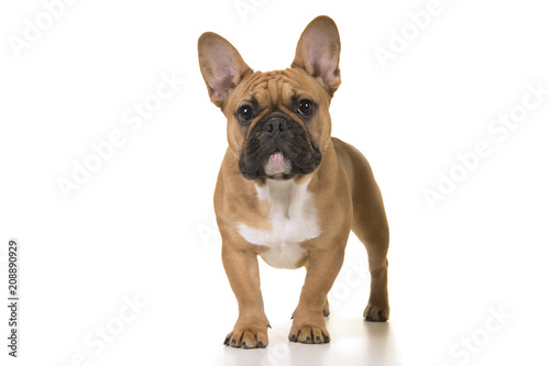 Adult french bulldog standing looking at camera on a white background