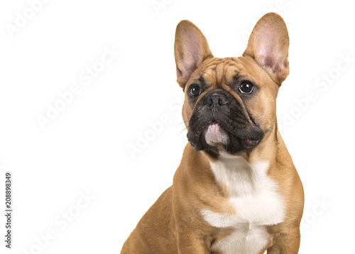Spoed Fotobehang Franse bulldog Portrait of a french bulldog isolated on a white background