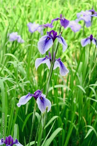 Spoed Foto op Canvas Iris 菖蒲