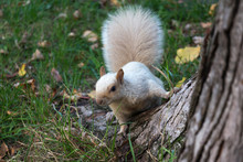 White Squirrel Behind Tree