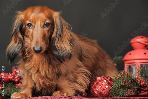 long-haired brown dachshund Plakát
