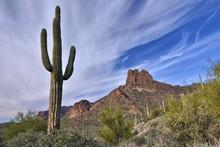 Saguaro Cactus And Miner's Nee...
