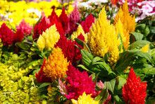 Close Up Of Bright Multi-colored Celosia Flowers
