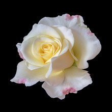 Wide Open Blooming Yellow White Red Rose Blossom On Black Background, Fine Art Still Life Color Flower Bloom Top View With Detailed Texture