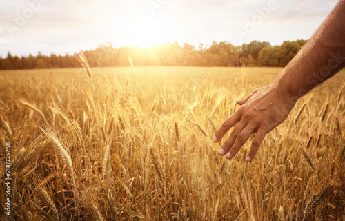 Poster Village Harvest concept, close up of male hand in the wheat field with copy space