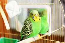A Parrot. A Wavy Parrot In Gre...