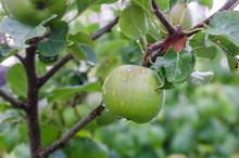 An Apple On An Apple Tree.