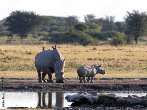Southern White rhinoceros, Ceratotherium simum simum, at waterhole Botswana Fototapeta