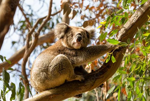 Staande foto Koala Closeup of a Koala holding onto the limb of a eucalyptus tree looking at the camera