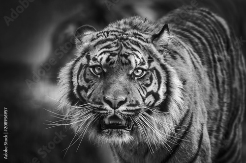 Photo  Tiger front view staring and looking straight ahead monochrome black and white i