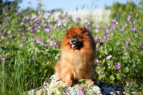 Fototapeta Beautiful fluffy dog sitting on a rock among wildflowers, Spitz obraz na płótnie