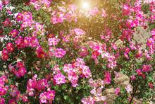 Background Texture Of Pink Spr...
