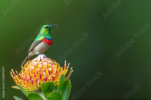 Photo  Southern double-collared sunbird or lesser double-collared sunbird (Cinnyris cha