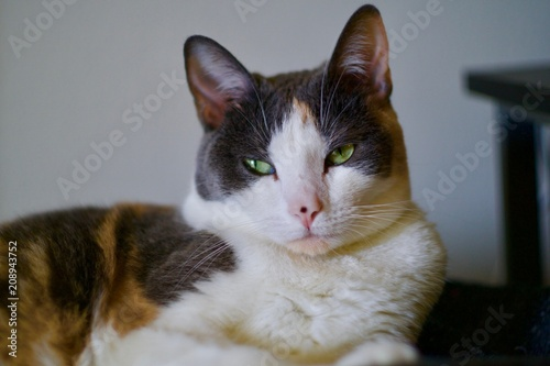 Calico Domestic Shorthaired Cat Canvas Print