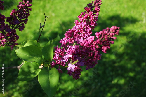 Foto op Canvas Lilac Bunch of claret red lilac flower