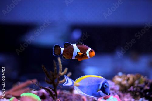 Canvas Print Ocellaris Clownfish - Amphiprion ocellaris
