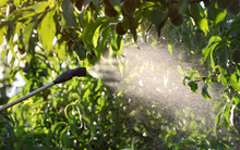 Spraying Peach Fruit Plants In...