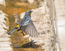 Yellow-rumped Warbler At Capul...