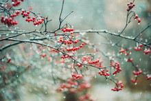 Red Berries On A Branch In A Snow Storm.