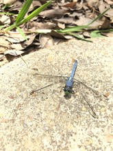 Blue Male Eastern Pondhawk Dragonfly With A Green Face