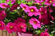 Zauberglöckchen Blüht üppig In Rosa