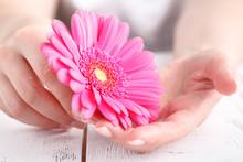 Female Health Care Concept, Pink Gerbera In Hands