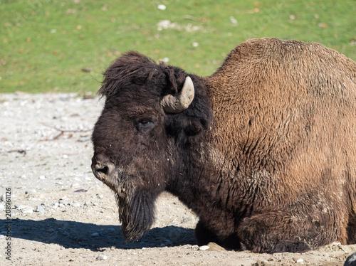 Aluminium Prints Bison Waldbison - Amerikanischer Bison - Bison bison athabascae