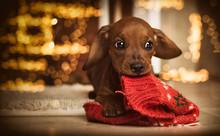 Dachshund Puppy 32