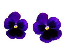 Pair Of Violets Flowers Isolated, Pansy