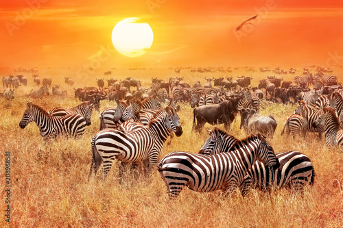 Foto op Plexiglas Afrika Herd of wild zebras and wildebeest in the African savanna against a beautiful orange sunset. The wild nature of Tanzania. Artistic natural image.
