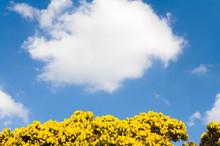 Gorse Bush In Flower Against A Sky