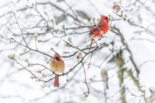 Two Red Northern Cardinal, Car...