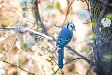 One Cute Adorable Coy Blue Jay...