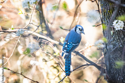 Photo  One cute adorable coy blue jay, Cyanocitta cristata, bird perched on tree branch